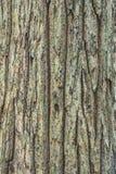 Σύσταση δέντρων φλοιών Στοκ Εικόνα