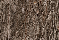Σύσταση δέντρων φλοιών Στοκ Φωτογραφία