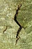 σύσταση δέντρων barck Στοκ Εικόνα