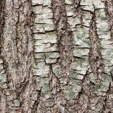 Σύσταση ή υπόβαθρο του φλοιού δέντρων Στοκ φωτογραφία με δικαίωμα ελεύθερης χρήσης