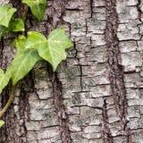 Σύσταση ή υπόβαθρο του φλοιού δέντρων Στοκ Εικόνες