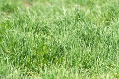 Σύσταση ή υπόβαθρο χλόης Πράσινη σύσταση χλόης από τον τομέα Λιβάδι με τις φρέσκα πράσινες εγκαταστάσεις ή τα χορτάρια Έννοια σύσ Στοκ Εικόνες