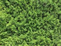Σύσταση βελόνων πεύκων στον τοίχο εγκαταστάσεων θερινών κήπων στοκ εικόνες