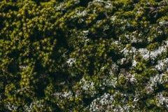 Σύσταση βρύου και λειχήνων στο δρύινο φλοιό δέντρων Οργανικά αφηρημένα σύσταση και υπόβαθρο για το σχέδιο Άποψη κινηματογραφήσεων Στοκ Εικόνα