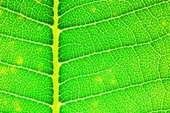 Σύσταση λεπτομέρειας φύλλων Plumeria Στοκ εικόνα με δικαίωμα ελεύθερης χρήσης