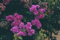 Σύσταση και υπόβαθρο λουλουδιών Bougainvillea Πορφυρά λουλούδια του δέντρου bougainvillea Στοκ Φωτογραφίες