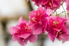 Σύσταση και υπόβαθρο λουλουδιών Bougainvillea Πορφυρά λουλούδια του δέντρου bougainvillea Κλείστε επάνω την άποψη του bougainvill Στοκ Εικόνες