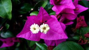Σύσταση και υπόβαθρο λουλουδιών Bougainvillea Πορφυρό bougainvillea λουλουδιών Στοκ Εικόνα