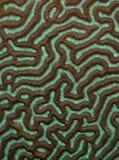 σύσταση κοραλλιών Στοκ Εικόνες