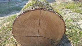 σύσταση κολοβωμάτων δέντρων αφηρημένη σύσταση Στοκ Εικόνα