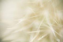 Σύσταση πικραλίδων Στοκ Φωτογραφία
