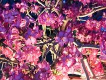 Σύσταση πολλών μικρών όμορφων τρυφερών ιωδών κόκκινων λουλουδιών των εγκαταστάσεων θάμνων με τα πέταλα και των κλάδων που καίγοντ Στοκ Φωτογραφίες
