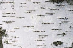 σύσταση σημύδων Στοκ Φωτογραφία