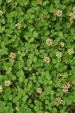 Σύσταση της χλόης τριφυλλιού με τα λουλούδια στοκ εικόνες