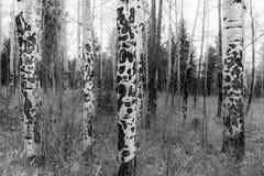 Σύσταση της Aspen Στοκ εικόνες με δικαίωμα ελεύθερης χρήσης