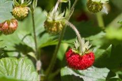 Σύσταση του άγριου strawberrie σε ένα φυτό μεταξύ των πράσινων φύλλων Στοκ Εικόνα
