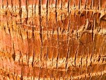 Σύσταση του καφετιού ξύλου, τροπικός εξωτικός όμορφος φρέσκος φυσικός ζωντανός χαρασμένος φωτεινός μοναδικός φλοιών φοινικών καρύ στοκ εικόνα