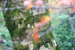 Σύσταση του κορμού δέντρων με το βρύο λειχήνων και το πράσινο δέντρο υποβάθρου Στοκ εικόνα με δικαίωμα ελεύθερης χρήσης