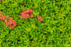 Σύσταση του λουλουδιού ακίδων Στοκ Φωτογραφίες