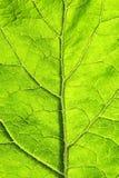 Σύσταση του πράσινου φύλλου με τις φλέβες στοκ εικόνα