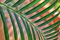 Σύσταση του πράσινου φύλλου φοινικών στοκ εικόνες με δικαίωμα ελεύθερης χρήσης