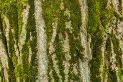 Σύσταση του φλοιού ενός δέντρου Στοκ Εικόνες