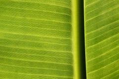 Σύσταση του φύλλου μπανανών στοκ φωτογραφία με δικαίωμα ελεύθερης χρήσης