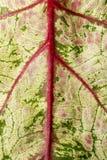 Σύσταση του φύλλου Araceae Στοκ φωτογραφία με δικαίωμα ελεύθερης χρήσης