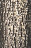 Σύσταση του φλοιού δέντρων. Στοκ εικόνα με δικαίωμα ελεύθερης χρήσης