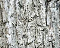 Σύσταση του φλοιού δέντρων Στοκ Εικόνα