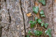 Σύσταση του φλοιού δέντρων Στοκ Φωτογραφία