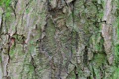 Σύσταση του φλοιού δέντρων Στοκ Εικόνες