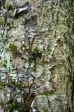 Σύσταση του φλοιού δέντρων Στοκ Φωτογραφίες
