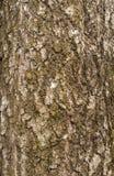 Σύσταση του φλοιού της παλαιάς σημύδας Στοκ Εικόνες