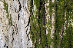 Σύσταση των λειχήνων και του κορμού δέντρων Στοκ Εικόνες