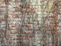 Σύσταση των ξηρών σταφυλιών σε έναν τουβλότοιχο στοκ φωτογραφίες με δικαίωμα ελεύθερης χρήσης