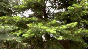 Σύσταση των πράσινων κλάδων έλατου Νέοι βλαστοί στο δέντρο, νέοι βεραμάν βλαστοί σε ένα μεγάλο δέντρο απόθεμα βίντεο