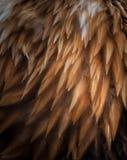 σύσταση των φαλακρών φτερών αετών Στοκ φωτογραφία με δικαίωμα ελεύθερης χρήσης