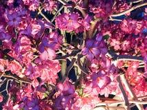 Σύσταση των όμορφων ευγενών φυσικών πορφυρών κόκκινων λουλουδιών των εγκαταστάσεων θάμνων με τα πέταλα και των κλαδίσκων που καίγ Στοκ Εικόνες