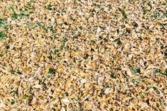 Σύσταση υποβάθρου του κίτρινου υποβάθρου φύλλων φθινοπώρου φύλλων Στοκ Φωτογραφία