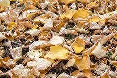 Σύσταση υποβάθρου του κίτρινου υποβάθρου φύλλων φθινοπώρου φύλλων Στοκ Φωτογραφίες