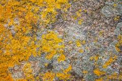 Σύσταση υποβάθρου των λειχήνων parietina Xanthoria Στοκ Εικόνα