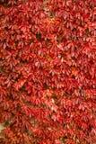 Σύσταση υποβάθρου φύλλων αμπέλων φθινοπώρου Στοκ φωτογραφίες με δικαίωμα ελεύθερης χρήσης