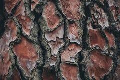 Σύσταση φλοιών δέντρων πεύκων Υπόβαθρο δέντρων πεύκων Αφηρημένα σύσταση και υπόβαθρο για τους σχεδιαστές Φυσικό πρότυπο Στοκ Εικόνα