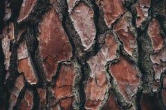 Σύσταση φλοιών δέντρων πεύκων Υπόβαθρο δέντρων πεύκων Αφηρημένα σύσταση και υπόβαθρο για τους σχεδιαστές Φυσικό πρότυπο Στοκ Φωτογραφία