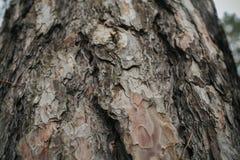 Σύσταση φλοιών δέντρων πεύκων Υπόβαθρο δέντρων πεύκων Αφηρημένα σύσταση και υπόβαθρο για τους σχεδιαστές Φυσικό πρότυπο Στοκ Φωτογραφίες