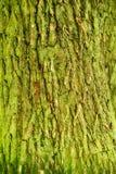 Σύσταση φλοιών δέντρων Στοκ εικόνα με δικαίωμα ελεύθερης χρήσης