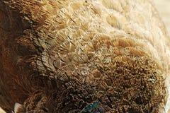 Σύσταση φτερών Peacock Στοκ Εικόνες