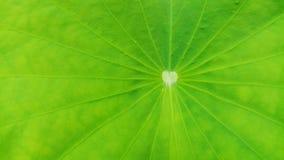 Σύσταση φύλλων Lotus κινηματογραφήσεων σε πρώτο πλάνο, πράσινο υπόβαθρο φύλλων στοκ εικόνες με δικαίωμα ελεύθερης χρήσης