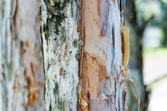 Σύσταση φλοιών δέντρων ευκαλύπτων Στοκ Εικόνες